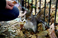 A squirrel in St. James Park